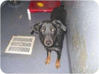 Border Collie Mix Dog for adoption in Edwardsville, Illinois - Bruno
