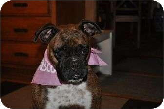 Boxer Dog for adoption in Grafton, Massachusetts - Sasha