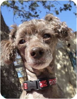 Poodle (Miniature)/Poodle (Miniature) Mix Dog for adoption in Pie Town, New Mexico - QUINCY