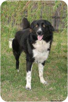 Border Collie/English Sheepdog Mix Dog for adoption in Newcastle, Oklahoma - Katie