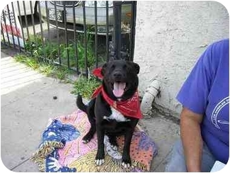 Cattle Dog/Labrador Retriever Mix Dog for adoption in Van Nuys, California - Bobby