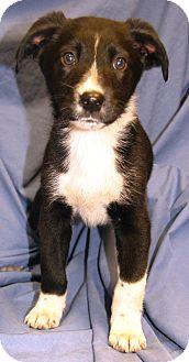 Labrador Retriever Mix Puppy for adoption in Beacon, New York - Orion