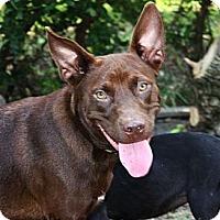 Adopt A Pet :: Brownie - PENDING, in ME - kennebunkport, ME