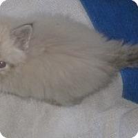 Adopt A Pet :: Percy - Dallas, TX
