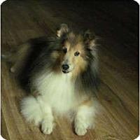Adopt A Pet :: Breezey - apache junction, AZ