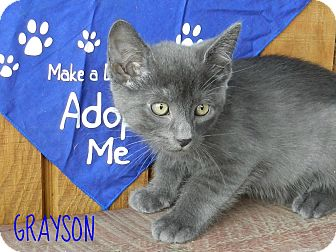 Russian Blue Kitten for adoption in Lawrenceburg, Tennessee - Grayson
