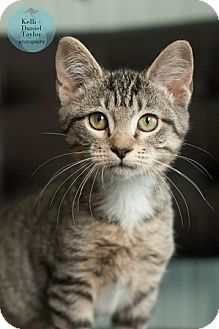 Domestic Shorthair Kitten for adoption in Birmingham, Alabama - Abby