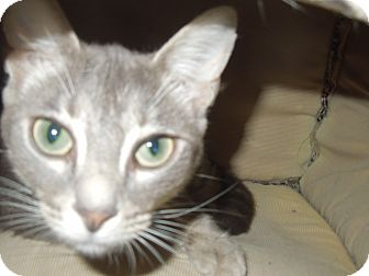 Domestic Shorthair Cat for adoption in Medina, Ohio - Muffett