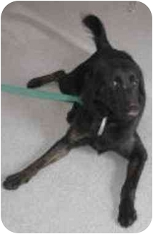 German Shepherd Dog/Rottweiler Mix Dog for adoption in Oxford, Michigan - Biker