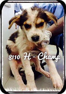 Labrador Retriever/Husky Mix Puppy for adoption in Dillon, South Carolina - Champ