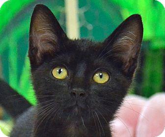 Domestic Shorthair Kitten for adoption in Searcy, Arkansas - Mindy