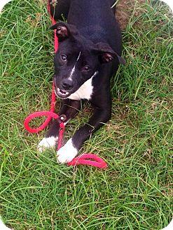 Corgi/Boston Terrier Mix Puppy for adoption in MILWAUKEE, Wisconsin - TAYA