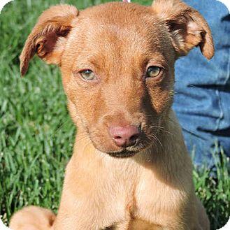 Vizsla Mix Puppy for adoption in Monte Rio, California - Ben