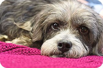 Schnauzer (Standard)/Terrier (Unknown Type, Small) Mix Dog for adoption in Knoxville, Tennessee - Henry