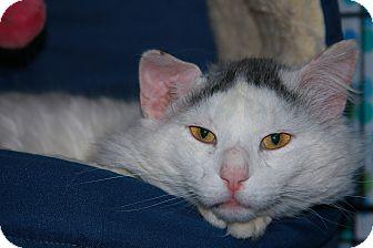 Domestic Longhair Cat for adoption in Warwick, Rhode Island - Gus