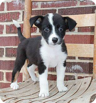 Border Collie Mix Puppy for adoption in Sagaponack, New York - Oreo