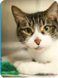Domestic Shorthair Kitten for adoption in Hillside, Illinois - Gio-6 MONTHS