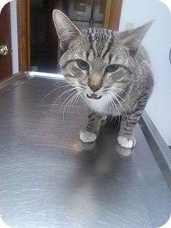 Domestic Shorthair Cat for adoption in Northfield, Ohio - Maze