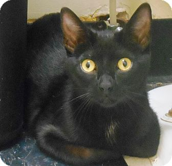Manx Cat for adoption in Parkton, North Carolina - Oola