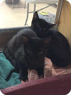 Domestic Shorthair Kitten for adoption in Rochester, Minnesota - JJ