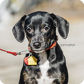 Dachshund/Retriever (Unknown Type) Mix Puppy for adoption in New York, New York - Fern