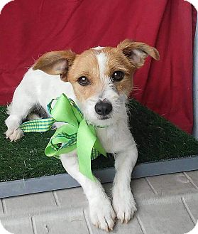 Jack Russell Terrier Mix Dog for adoption in pasadena, California - BILLY