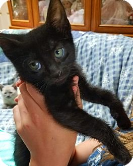 American Shorthair Kitten for adoption in Ronkonkoma, New York - Bear