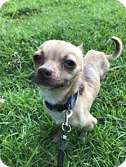 Chihuahua Dog for adoption in Greenville, South Carolina - Sprout