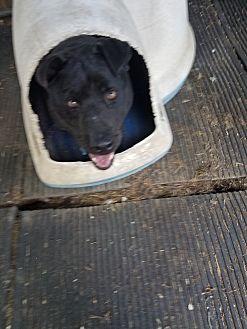 Staffordshire Bull Terrier Mix Dog for adoption in Walthill, Nebraska - Bogie