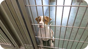 Hound (Unknown Type)/Labrador Retriever Mix Puppy for adoption in Edgewood, New Mexico - Tucker
