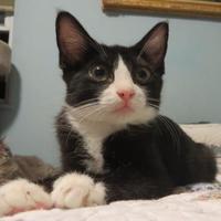 Adopt A Pet :: Simon - Ellicott City, MD