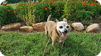 Chihuahua Mix Dog for adoption in Sussex, New Jersey - Lola