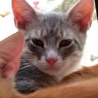 Adopt A Pet :: Pablo - Manteo, NC