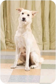 Labrador Retriever Mix Dog for adoption in Portland, Oregon - Suzie