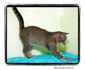 Domestic Shorthair Kitten for adoption in Warren, Pennsylvania - Kiwi