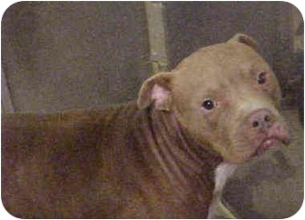 American Pit Bull Terrier Dog for adoption in Emory, Texas - Tam