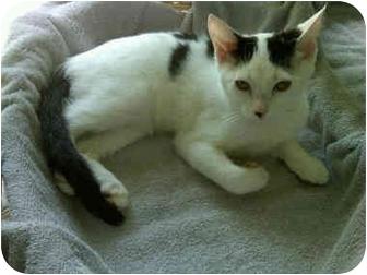 Domestic Shorthair Cat for adoption in Sheboygan, Wisconsin - Anna