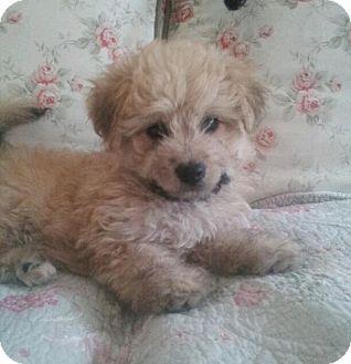 Golden Retriever Mix Puppy for adoption in Long Beach, California - Shay