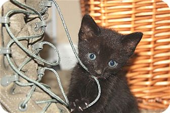 Domestic Shorthair Kitten for adoption in Schertz, Texas - Louie