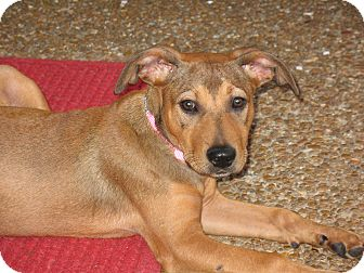 Shepherd (Unknown Type) Mix Puppy for adoption in Harrisburgh, Pennsylvania - Belle