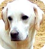 Labrador Retriever Mix Puppy for adoption in Wakefield, Rhode Island - REXX