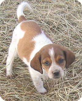 Beagle Mix Puppy for adoption in Hillsboro, Ohio - Geno & Deano