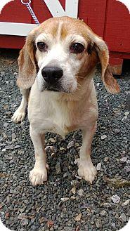 Beagle Dog for adoption in Ellington, Connecticut - Shiloh