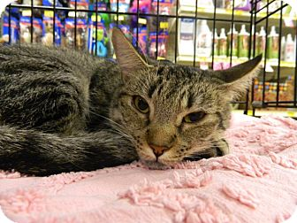 Domestic Shorthair Cat for adoption in The Colony, Texas - Sloan
