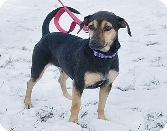 Terrier (Unknown Type, Small)/Miniature Pinscher Mix Dog for adoption in Brooklyn, New York - Terrific Tutti