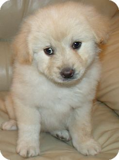 Golden Retriever/Anatolian Shepherd Mix Puppy for adoption in Corona, California - SUNRISE PUPS C