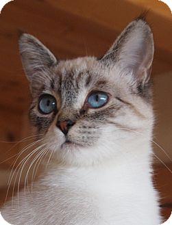 Siamese Cat for adoption in Buhl, Idaho - Iris