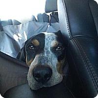 Adopt A Pet :: Mulligan (Mully) - Schererville, IN