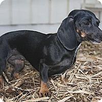 Adopt A Pet :: Peanut - North Palm Beach, FL