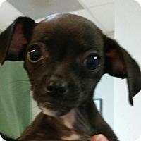 Adopt A Pet :: Toodles - Phoenix, AZ